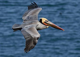 Brown pelican - Adult in flight, Bodega Bay, California