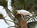 Bubulcus ibis 0032.jpg