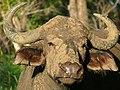 Buffalo (Syncerus caffer) (6046818858).jpg