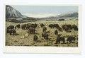 Buffalo Herd near Fort Yellowstone, Yellowstone Ntl. Park, Wyo (NYPL b12647398-68037).tiff