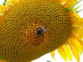 Bumblebee on a sunflower.jpg