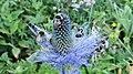 Bumblebees foraging blue thistles in Vanoise National Park.jpg