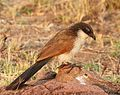Burchell's Coucal, Centropus burchelli at Borakalalo National Park, South Africa (9868754504) (cropped).jpg