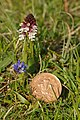 Burnt Orchid (Orchis ustulata) - geograph.org.uk - 1314363.jpg