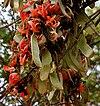 Butea monosperma (Dhak) flowers & fruits W IMG 7495