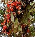 Butea monosperma (Dhak) flowers & fruits W IMG 7495.jpg