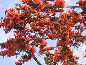 Fascicle (botany) - Fascicled flowers of Butea monosperma, (Flame of the forest)