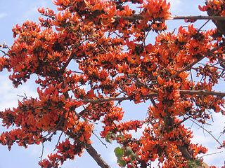 Fascicle (botany)