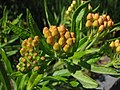 Butterfly Weed Asclepias tuberosa Unopened Buds 2816px.JPG