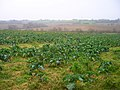 Cabbage Field near Bowlers Town - geograph.org.uk - 300254.jpg