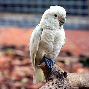 Tanimbar corella - In an aviary