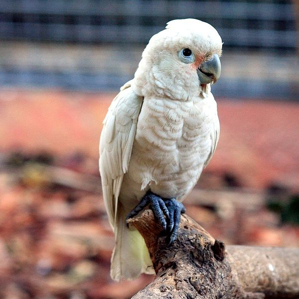 Ficheiro:Cacatua goffiniana -captive-8a-3c.jpg