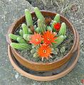 Cactus en fleur-1.jpg