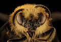 Cadeguala occidentalis, m, face, Canton, Chile 2018-07-14-01.10 (29613239337).jpg