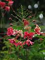 Caesalpinia-pulcherrima-from-Koovery.jpg