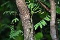 Caesalpinia coriaria 7zz.jpg