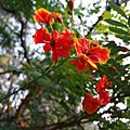 Caesalpinia pulcherrima - Color of the petal.jpg