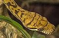 Cairns Carpet Python-1 (23820086683).jpg