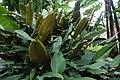 Calathea ornata 5zz.jpg