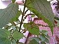 Calea flowering.jpg