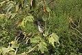 California Scrub Jay - Aphelocoma californica (42965996145).jpg