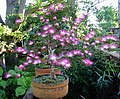 Calliandra eriophilla-bonsai.jpg