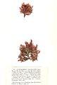 Callithamnion granulatum Crouan.jpg