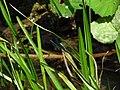 Calopteryx IMG 5511.jpg