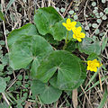 Caltha palustris SCA-01420.jpg
