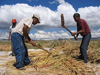 Quinoa - Threshing quinoa in Peru