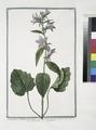 Campanula vulgatior foliis Urticæ vel major, et asperior - Cervicaria major - Campanula - Campanule. (Bell flower) (NYPL b14444147-1125001).tiff