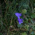 Campanule à feuilles rondes-Fleurs-Pleney-20141015.jpg