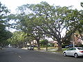 Camphor Trees (Wilmington, CA).jpg