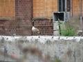 Canada goose (Branta canadensis) in urban wilderness.TIF