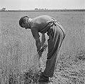 Canadese militairen helpen boeren. Oogsten, Bestanddeelnr 900-5479.jpg