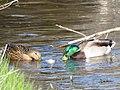 Canards colverts 02.jpg