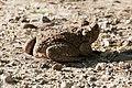 Cane Toad Bentsen Rio-Grande SP Mission TX 2018-03-20 08-26-49 (40033192685).jpg