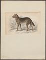 Canis australiae - 1833-1866 - Print - Iconographia Zoologica - Special Collections University of Amsterdam - UBA01 IZ22200401.tif