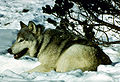 Canis lupus in snow with radio collar.jpg