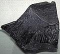 Cannel coal 1 (41557471514).jpg