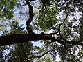 Canopy of a large tree at Sundarbans.jpg