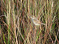 Cape Sable Seaside Sparrow (1) NPS Photo, Lori Oberhofner (9099282483).jpg