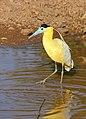 Capped Heron (Pilherodius pileatus) (31412280000).jpg