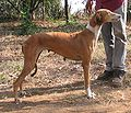 Caravan hound Dolly1.jpg