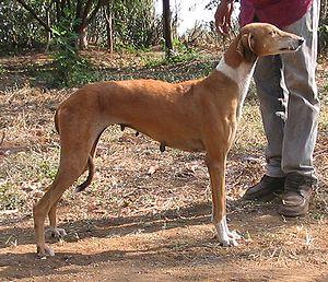 Mudhol Hound - Image: Caravan hound Dolly 1
