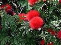 Carbonero rojo (Calliandra hematocephala) (14722368173).jpg