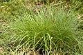 Carex.demissa.2.jpg