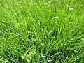 Carex lasiocarpa plant (2).jpg
