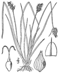Carex leavenworthii BB-1913.png