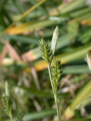Carex leucochlora Aosuge 001.jpg